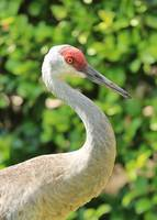 Bright Sandhill Crane Profile