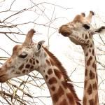 """Giraffes"" by JosephHildred"