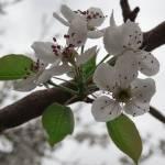 """""""Pear Flower"""" by HarusPhotos"""