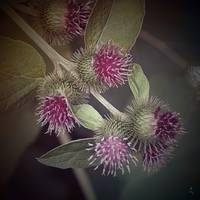 Burdock in Bloom