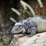 """""""Rhinoceros Iguana"""" by PaulCoco"""