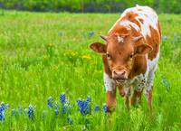 Longhorn Calf in Wildflowers
