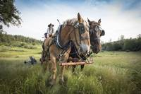 Draft Horses and Wagon