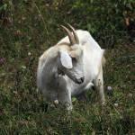 """2016-05-25 White Goat in Wildflowers"" by rhamm"