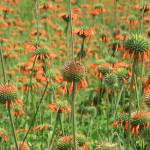 """Field of Wild Coneflowers"" by rhamm"