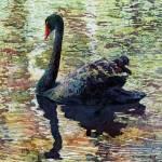 """""""Black Swan"""" by HaileyWatermedia"""