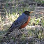 """American Robin"" by vpicks"