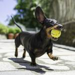 """Dachshund Puppy Dog Caught The Ball"" by AnswersFound"