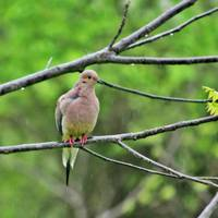 Mourning Dove in Rain