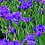 """""""Field of Purple Irises"""" by SplitWindow"""