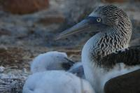 blue footed booby (young) chick