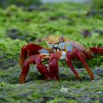 """sally lightfoot crab"" by Dempsta"
