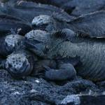 """stack of marine iguanas"" by Dempsta"