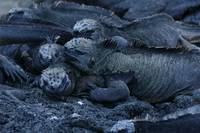 stack of marine iguanas