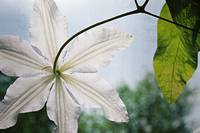 Clematis Vine and Leaves