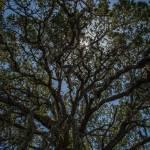 """""""Oak Tree"""" by goatlockerguns"""