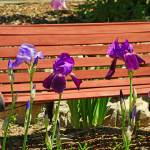 """Bench and Iris"" by robertmeyerslussier"
