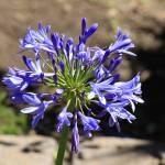 """""""Blue Flower in a Garden"""" by rhamm"""