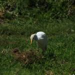 """Egret in a Pasture"" by rhamm"