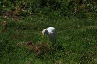 Egret in a Pasture