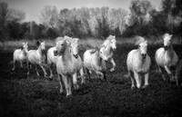 white horses of the camargue, provence