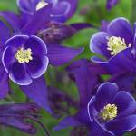 """Purple Columbine Flowers"" by SoulfulPhotos"