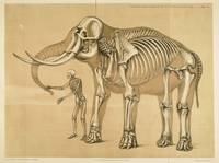 Vintage Elephant and Human Skeleton Illustration