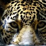 """Jaguar Eyes"" by zenlady"