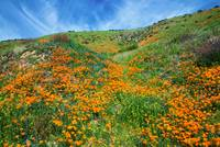 High Desert Hillside Poppies