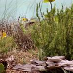 """""""Black Swallowtail at Beach Vertical 2016"""" by KsWorldArt"""