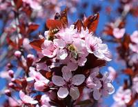 Bees on Blossoms