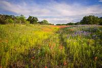 Roadside Wildflowers in the Texas Hill Country
