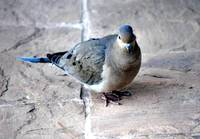 ADULT MALE DOVE