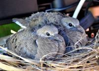 NEWLY BORN DOVE CHICKS