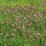 """""""Purple Wildflowers in a Field"""" by rhamm"""