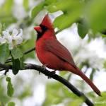 """Male Northern Cardinal."" by ROBERTSCOTTPHOTOGRAPHYY"