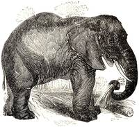 Vintage Elephant Illustration (1891)