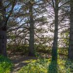 """Monterey Cypress Grove"" by goatlockerguns"