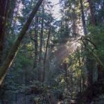 """Muir Woods Afternoon"" by goatlockerguns"