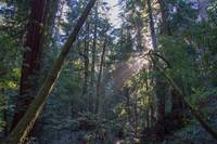 Muir Woods Afternoon