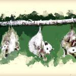 """Baby Possums Hanging by Their Tails"" by ElainePlesser"