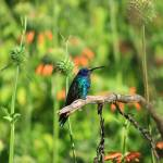 """Sparkling Violetear Hummingbird on a Branch"" by rhamm"