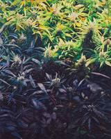 sea of green (A portrait of marijuana)