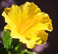 RUFFLED YELLOW HIBISCUS