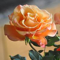 BEAUTIFUL PEACH ROSE OPEN TO THE SUN