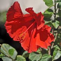 A RUFFLED RED HIBISCUS FLOWER