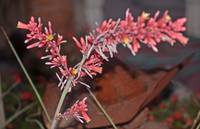 RED YUCCA FLOWERS ON LONG STEMS