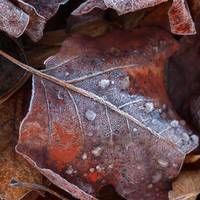 Frost on a Leaf Tulip Tree