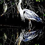 """Blue Heron"" by davegafford"