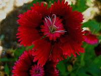 Deep Red Dianthus